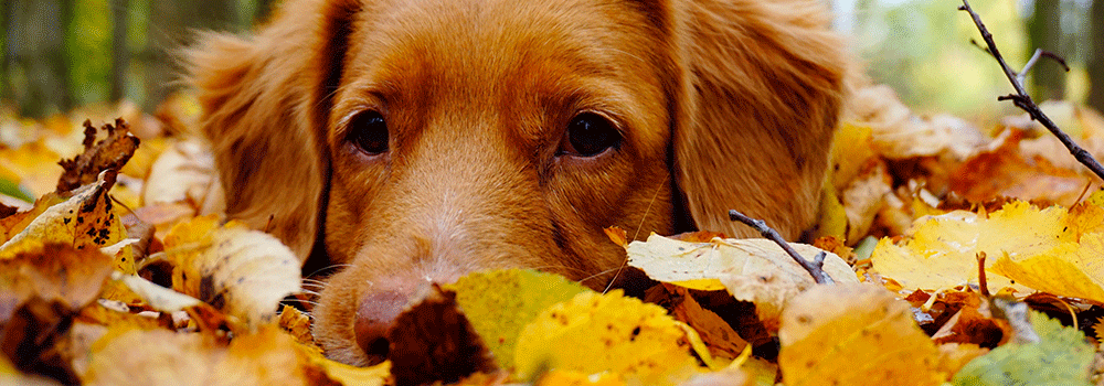 dog in leaf pile