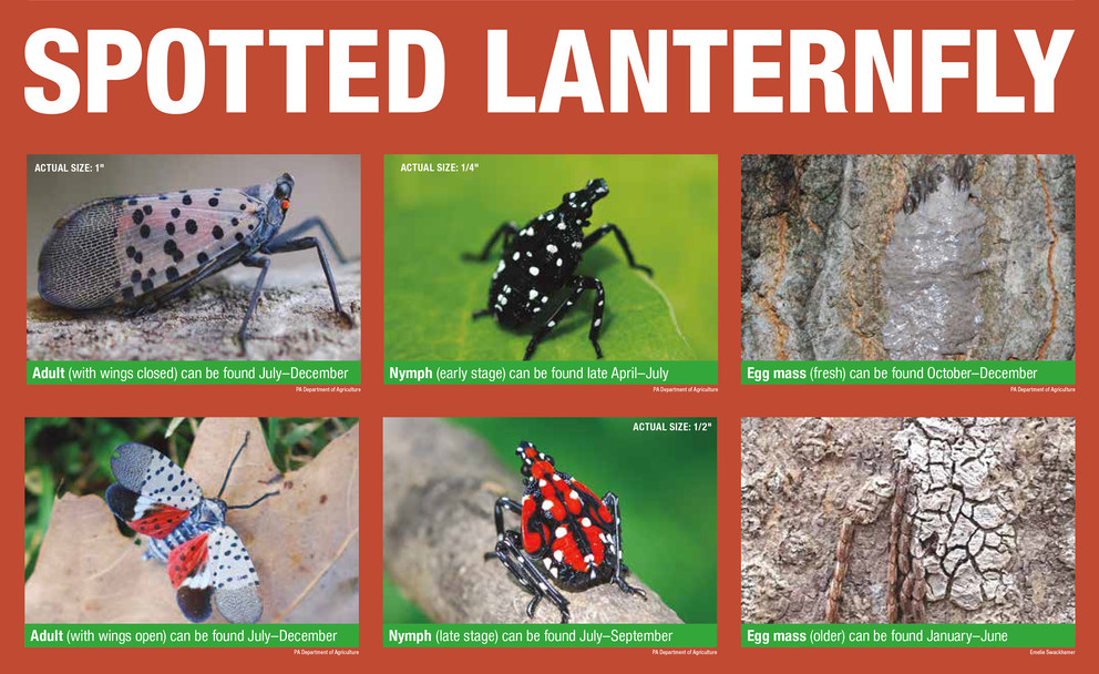 Spotted Lanternfly Lifecycle graphic